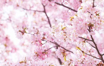桜の植樹活動